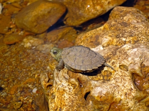Lookit this cute little turtle.